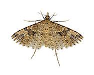 44.001 (1288)<br /> Twenty-plume Moth - Alucita hexadactyla