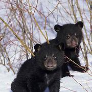 Black Bear, (Ursus americanus) Spring cubs in spring snow. Montana. Captive Animal.