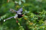 Red-billed Blue Magpie, Urocissa erythroryncha, flying, Yangxian Biosphere Reserve, Shaanxi, China