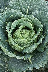 Savoy Cabbage 'Siberia'