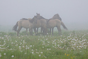 "A group of Konik horses (Equus ferus caballus) in grey foggy morning standing in meadow with grey dandelions, nature park ""Dvietes paliene"", Latvia Ⓒ Davis Ulands 