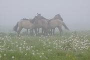 "A group of Konik horses (Equus ferus caballus) in grey foggy morning standing in meadow with grey dandelions, nature park ""Dvietes paliene"", Latvia Ⓒ Davis Ulands | davisulands.com"