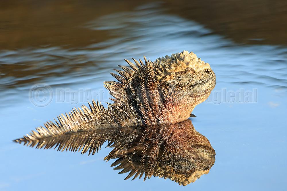 Iguana enjoying a bath at Santiago Island, Galapagos   Iguan som nyter et bad på Santiago øya på Galapagos.
