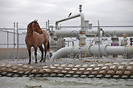 Horse in front of an oil pumping station amongst dead live oak trees, an indicator of the saltwater intrusion caused by the levee system along the banks of the Bayou St. Jean Charles and channels cut by oil companies done off the Isle de Jean Charles and Pointe-aux-Chene.