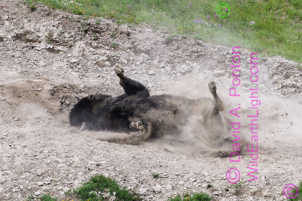 American bison rolls and kicks in rocky dirt patch on a hillside, Yellowstone National Park, © David A. Ponton