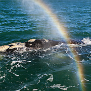 Southern right whale (Eubalaena australis) creating a rainbow while breathing. Photographed with the permission of the Department of Environmental Affairs, South Africa.