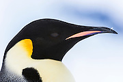 A close up portrait of an Adult Emperor Penguin (Aptenodytes forsteri), Snow Hill Island, Weddell Sea, Antarctica