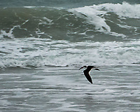 Black Skimmer at Playalinda Beach. Image taken with a Nikon D700 camera and 28-300 mm VR lens (ISO 3200, 300 mm, f/5.6, 1/250 sec).