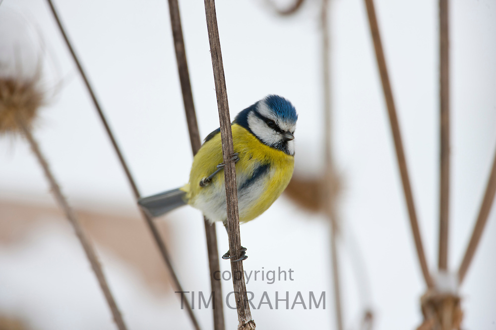 Blue Tit perches on dried stalks of teasel, in snowy weather in The Cotswolds, UK