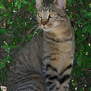 African Wild Cat, this cat was raised by a camp manager of King's Camp, Timabavati Game Reserve, South Africa.