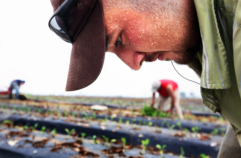 Migrant worker Fernando Amaya, 21, of Nayarit, Mexico works in the sweltering heat as he  works in the fields at Titan Farms. Fernando, who father also works on the farm, has worked at the farm for three years.