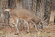 Whitetail deer (Odocoileus virginianus)buck in Wyoming working a scrape