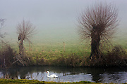 Mute swan on the River Windrush, Oxfordshire, The Cotswolds, UK