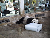 Giant Panda plays with block of Ice