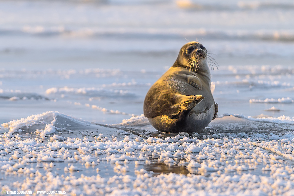Ringed seal (Phoca hispida) The ringed seal Pusa hispida or Phoca hispida, also known as the jar seal and as netsik or nattiq by the Inuit, is an earless seal (family: Phocidae) inhabiting the Arctic and sub-Arctic regions.