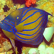 Blue Ringed Angelfish inhabit reefs. Picture taken West Papua; Triton Bay; Indonesia.