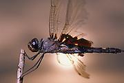 Black Saddlebags dragonfly and sunset, Norfork Lake creek bottom, Baxter County, Arkansas
