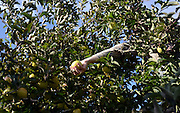 Alexis Self picks apples at Black Diamond Farm in Trumansburg, NY, November 5, 2013.<br /> (Heather Ainsworth for The New York Times)