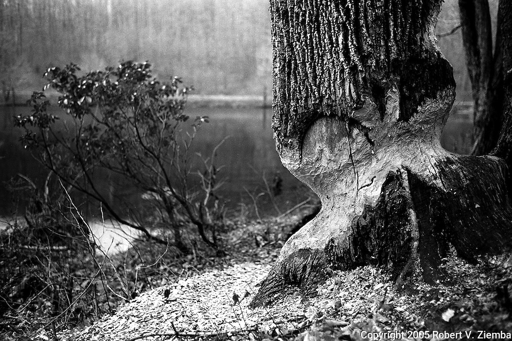 """""""Persistence""""-A black and white image of a large ash tree chewed on by beavers."""