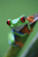 Red-eyed tree frog (Agalychnis callidryas), aka red-eyed leaf frog or gaudy leaf frog, perches on banana tree stalk; Las Horquetas, Costa Rica.