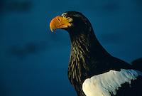 A portrait of a Steller's sea eagle.