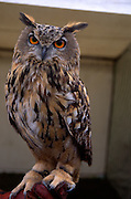 Face and eyes of Eurasian or European eagle owl Bubo bubo full body close up