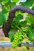 Grapes, Volcano Winery, The Big Island of Hawaii