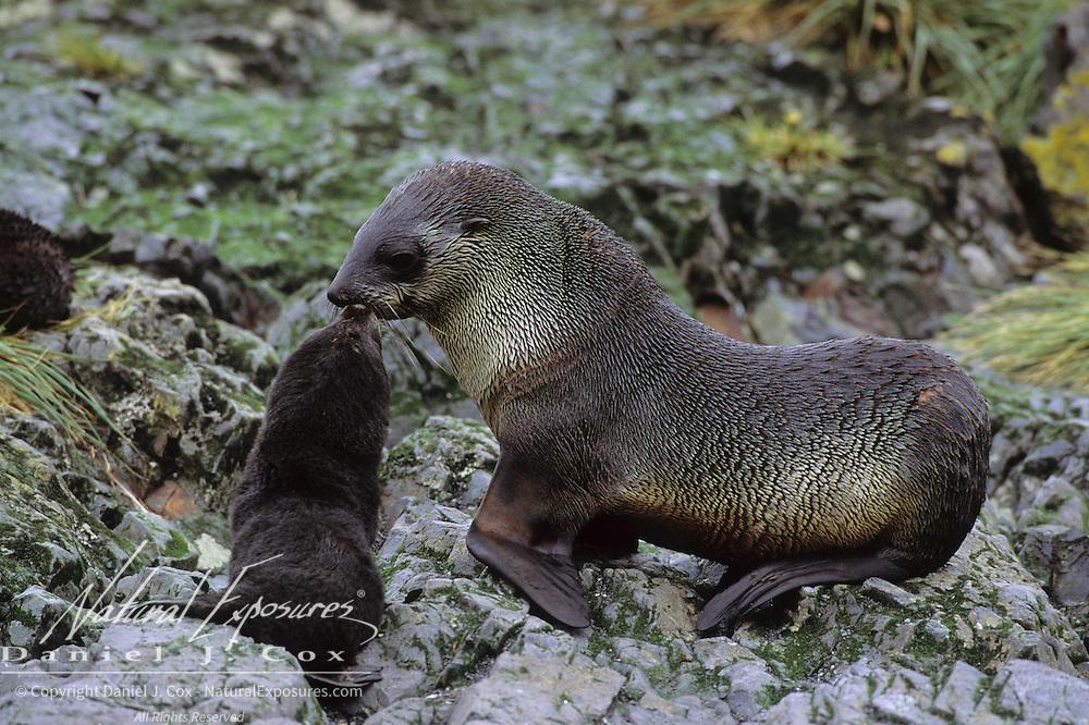 South Georgia Fur Seal (Arctocephalus tropicalis gazella) female with her pup. South Georgia