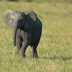 African elephant (Loxodonta Africana) calf, grassland, full size, front view, ears spread, behind grass, head lifted, Mara Mara, Kenya