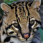 Ocelot (Felis pardalis) inhabits the rainforests of Central and South America. Captive Animal
