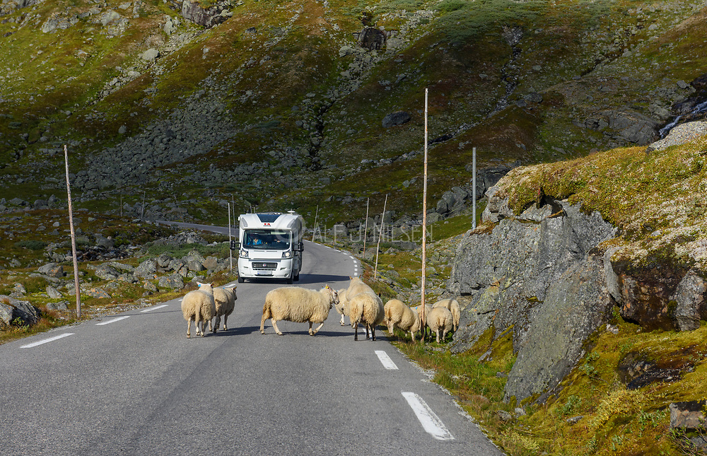 """Sheep blocking the road called """"Tindevegen"""" one of the most scenic roads in southern Norway."""
