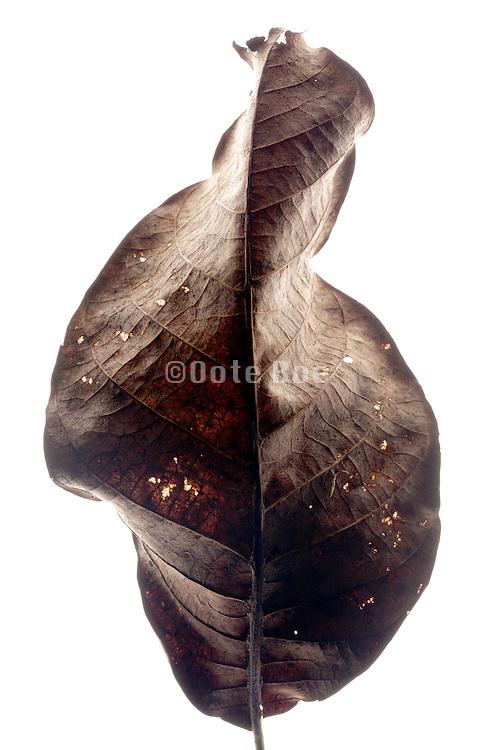 autumn season curled brown leaf
