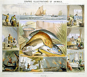 Fish: Anchovies, Mackerel, Cod, Isinglass (from Sturgeon), Preserving, Herring, Marketing. Hand-coloured lithograph published London c1850. From 'Graphic Illustrations of Animals and Their Utility to Man'