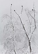 Snow covered trees and crows