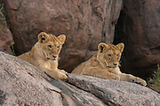 Two young cubs on a kopje (rock outcrop)