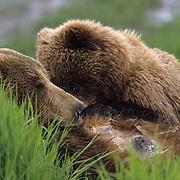 Alaskan Brown Bear, (Ursus middendorffi) Sow nursing cubs in open meadow. Alaska Peninsula.