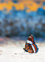 A Butterfly in Patriotic Colors of Red, White and Blue