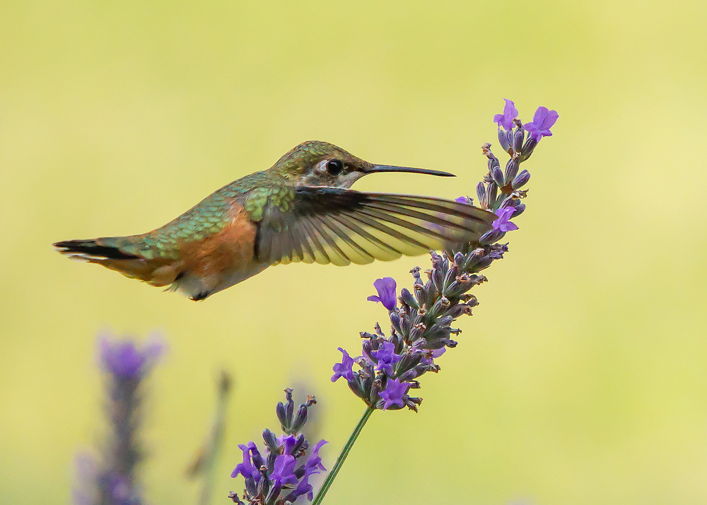 A fast shutter speed of 1/4000 of a second freezes the rapid wing beats of an Anna's Hummingbird as it drinks necter from a lavendar plant in Bend, Oregon.