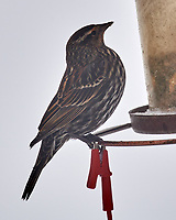 Red-winged Blackbird (Agelaius phoeniceus). Image taken with a Nikon D5 camera and 600 mm f/4 VR lens.