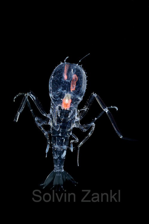 """[captive] Deep Sea Amphipod (Cystisoma neptuni) has a transparent body, with the exception of the stomach and its compound eyes.  They may feed on on soft-bodied animals. """"See and NOT be seen"""" seems to be the life motto of the deep-sea amphipod Cystisoma neptuni. The segments of its highly-specialised compound eyes collect rays of light in crystalline cones and lead them to the tips of light-guiding tubes that are connected to the optic nerves. Its transparent body prevents the crustacean from being detected and caught by predators. It is only visible thanks to the special lightning in my photo aquarium. 