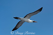 masked booby, Sula dactylatra, flying offshore from southern Costa Rica, Central America ( Eastern Pacific Ocean )