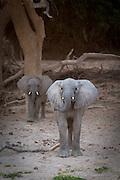 Desert Elephant Calves, The Kaokoveld Desert, Kaokoland, Northern Namibia, Southern Africa