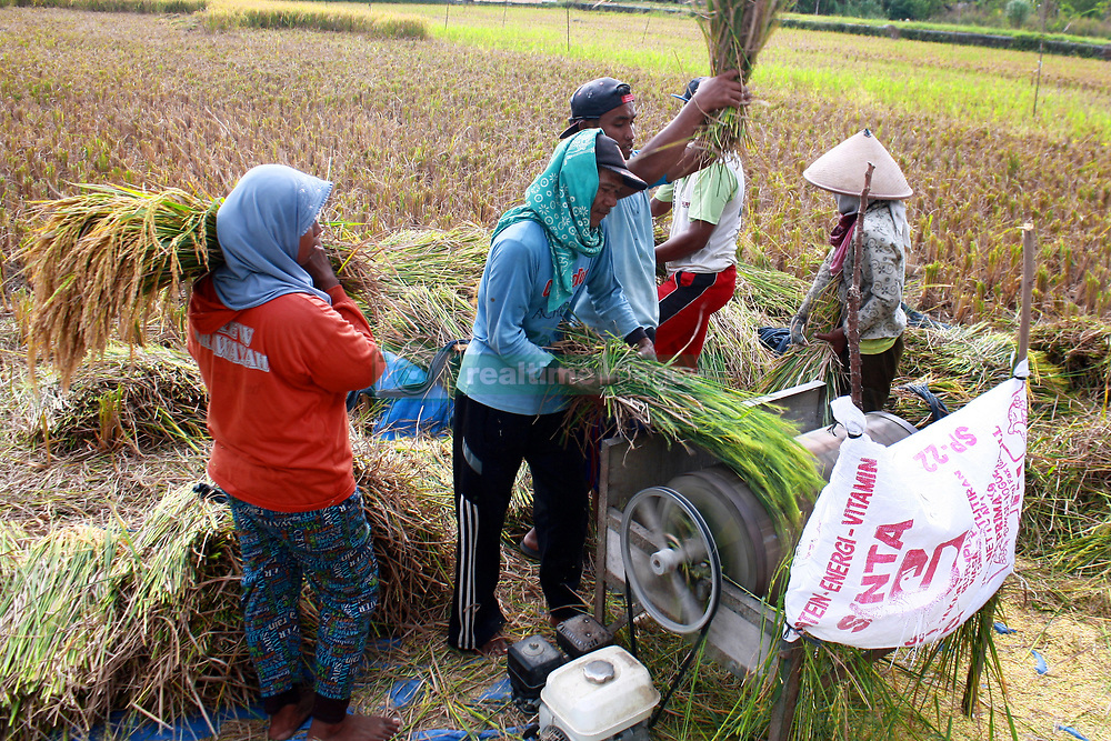 April 14, 2018 - Yogyakarta, Special Region of Yogyakarta, Indonesia - The farmers are grinding rice at harvest this summer. In this harvest season the farmers are happy to be able to reach the abundant harvest targets. According to rice market research by Food and Agriculture Organization of The United Nation (FAO),Indonesia including the largest rice supplier country in South Asia with domestik selling price of US$ 0,89 or Rp.12.700, (Credit Image: © Devi Rahman/Pacific Press via ZUMA Wire)