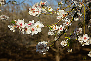 Close up of Almond (Prunus dulcis) blossoms Photographed in Israel in February