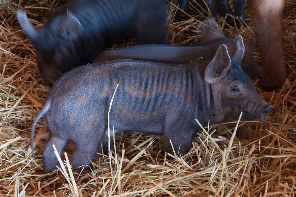 Piglets that are the result of a Tamworth and Large Black Pig cross, both heritage breeds. The piglet still  has it's dappled coloration.