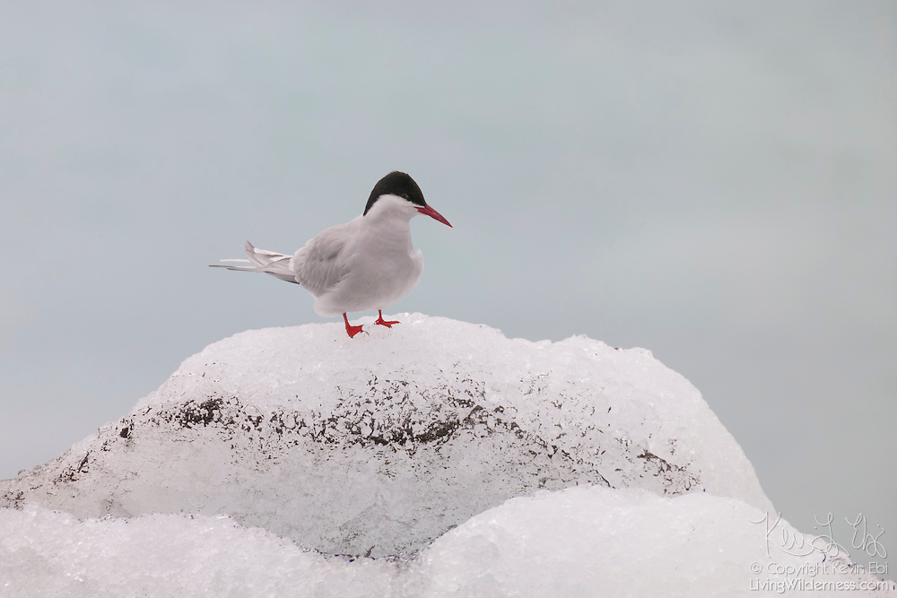 An arctic tern (Sterna paradisaea) rests on an iceberg floating in Jökulsárlón, the glacier lagoon in Iceland. Arctic Terns have the longest migration of any animal, flying an average of 44,300 miles (70,900 kilometers) each year. They summer in each hemisphere, breeding in the northern polar region during its summer and then flies to the edge of the Antarctic ice for the southern hemisphere summer.