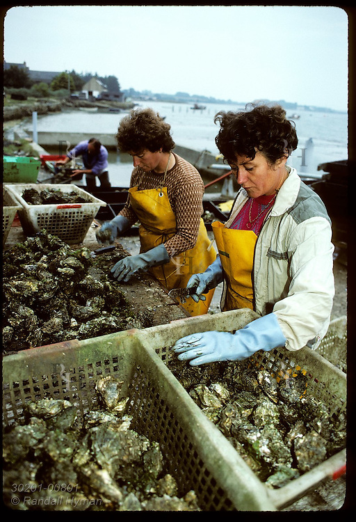 Two women break Japanese oysters apart from each other @ Marcel Rio's oyster station (chantier). France