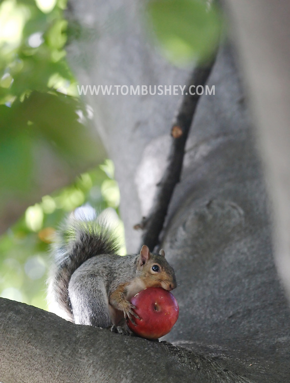 Middletown, NY - A grey squirrel eats an apple in a tree on Oct. 31, 2007.