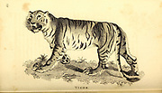 Tiger from General zoology, or, Systematic natural history Part I, by Shaw, George, 1751-1813; Stephens, James Francis, 1792-1853; Heath, Charles, 1785-1848, engraver; Griffith, Mrs., engraver; Chappelow. Copperplate Printed in London in 1800. Probably the artists never saw a live specimen