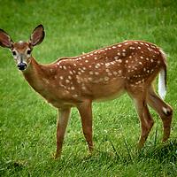 20200824-deer